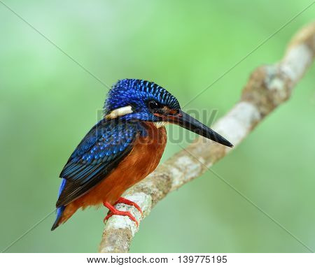 Blue-eared Kingfisher (alcedo Meninting) Perching On The Branch In Front Of His Nest Hole Waiting Fo