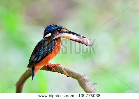 Female Of Blue-eared Kingfisher (alcedo Meninting) Perching On The Thorn Branch Catching The Fish In