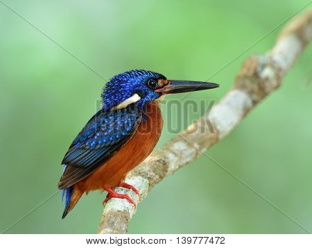 Little Chubby Blue Bird Perching On The Branch On Fine Green Blur Background, The Male Of Blue-eared