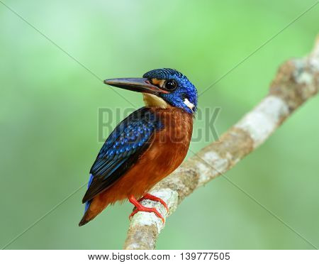 Lovely Blue Bird Perching On The Branch On Fine Green Blur Background, The Male Of Blue-eared Kingfi