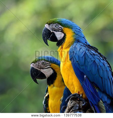 Lovely Blue-and-yellow Macaws (ara Ararauna) The Beautiful Blue Parrots Sitting Togethers With Blur