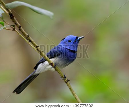 Male Of Black-naped Monarch Or Black-naped Blue Flycatcher (hypothymis Azurea) The Colorful Blue Bir