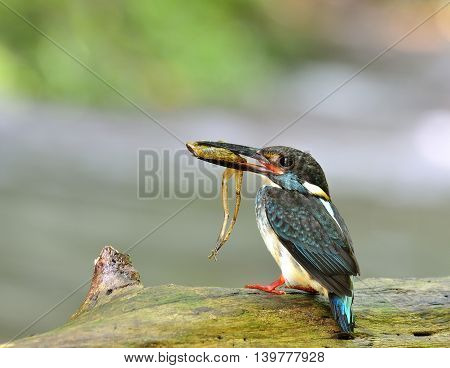 Male Of Blue-banded Kingfisher (alcedo Euryzona) The Beautiful Striped Blue Bird Carrying Frog In Hi