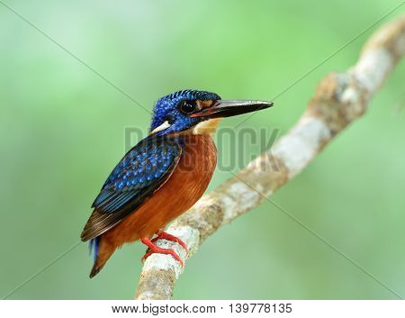 Male Of Blue-eared Kingfisher (alcedo Meninting) The Little Chubby Blue Bird Perching On The Branch