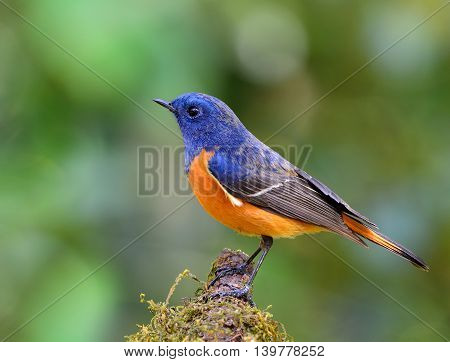Male Of Blue-fronted Redstart (phoenicurus Frontalis) The Colorful Blue And Orange Bird Perching On