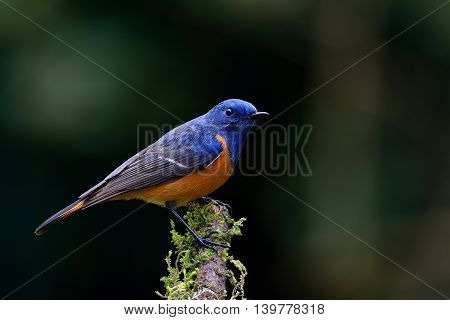 Male Of Blue-fronted Redstart (phoenicurus Frontalis) The Magnificent And Colorfull Bird Perching On