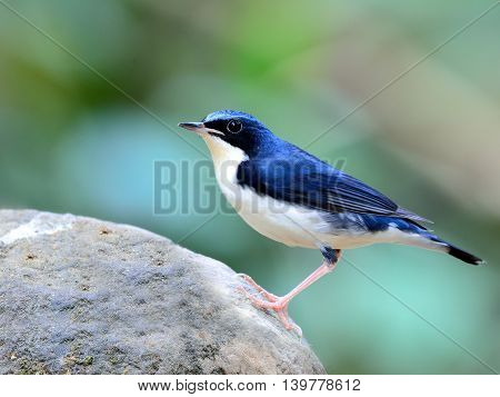 Male of Siberian blue robin (Luscinia cyane) the beautiful blue and white bird perching on the clean rock with nice green blur background