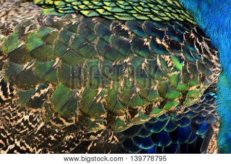 The mix of blue green and golden texture of Indian Peacock feathers the most beautiful background for the artwork