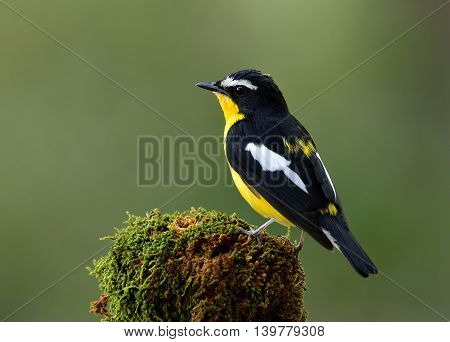 Yellow-rumped Flycatcher (ficedula Zanthopygia) The Beautiful Black Bird With Yellow Belly And Rump