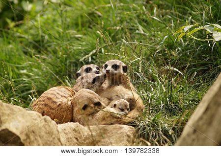 Meerkat - family with babies (Suricata suricatta)