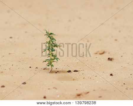 closeup desert plant (Xanthium spinosum) on sand at cloudy day