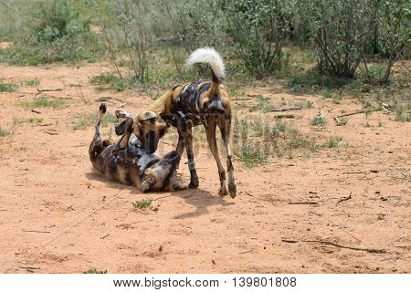 Two African Wild Dogs playing in the bushveld Namibia Africa
