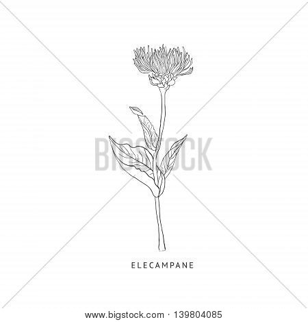 Elecampane Medical Herb Hand Drawn Realistic Detailed Sketch In Beautiful Classic Herbarium Style On White Background