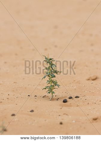 closeup desert plant (Xanthium spinosum) on sand at summer day. Vertical composition