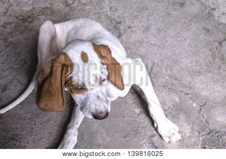 White with auburn four-month puppy pointer lying  on a concrete floor