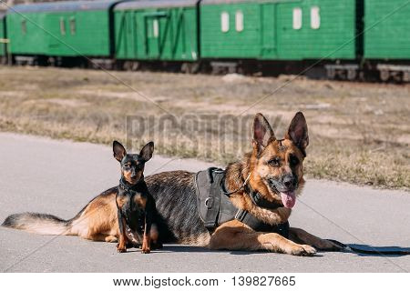 Brown German Sheepdog Alsatian Wolf Dog And Black Miniature Pinscher Pincher Sitting Together On Road
