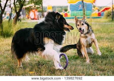 Shetland Sheepdog, Sheltie, Collie And Other Mixed Breed Dog Play Together With Ring Outdoor In Summer Grass At Evening. This Breed Of Herding Dog. They Are Vocal, Excitable, Energetic Dogs Who Are Always Willing To Please And Work Hard
