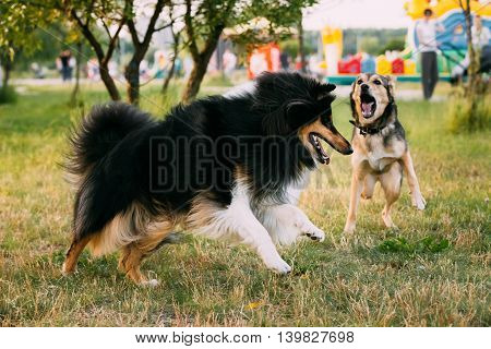Shetland Sheepdog, Sheltie, Collie And Other Mixed Breed Dog Play Together Outdoor In Summer Grass At Evening. This Breed Of Herding Dog. They Are Vocal, Excitable, Energetic Dogs Who Are Always Willing To Please And Work Hard