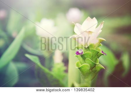 Siam Tulip flowers (also known as Curcuma alismatifolia summer tulip hybrid tulip hot tulip Zingiberales) filtered with light effect