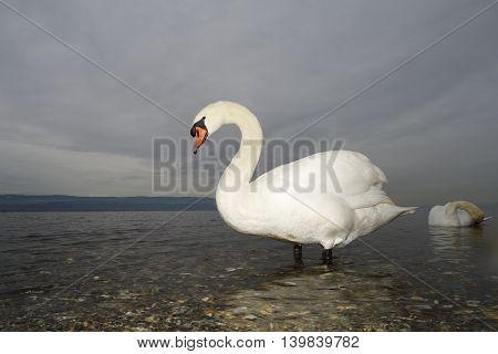 Mute swan (Cygnus olor) standing on lakeshore with dark sky behind.