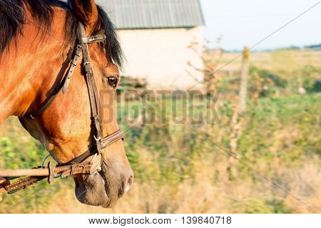 Bown yong Horse head on country background