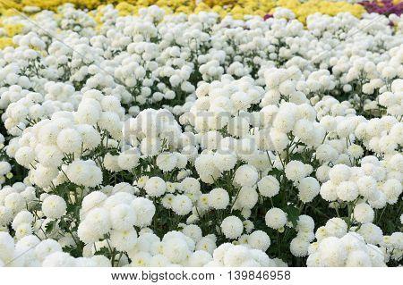 closeup beatiful flowers, white chrysanthemums in the garden