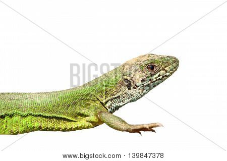 closeup of green lizard isolated over white background ( Lacerta viridis )