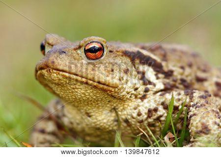 portrait of brown common toad ( Bufo bufo ) macro shot