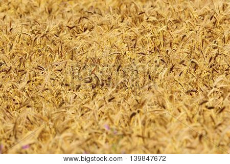 textured detail of full grown wheat field in summer
