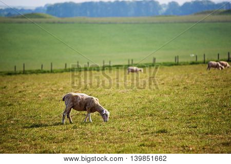 Sheep in valley in the Countryside at Stonehenge in Wiltshire in the the UK. Wiltshire is a county in South West England. It is famous for many valleys and downhills.