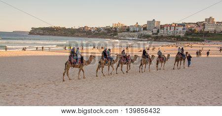 July 24, 2016: Bondi Beach, Sydney Australia - Tourists Riding Camels On The Beach As Part Of The Bo