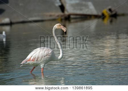 Greater Flamingo or Phoenicopterus roseus in a lagoon in Bahrain