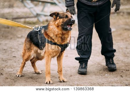 Barking Angry German Shepherd Dog On Training. Alsatian Wolf Dog