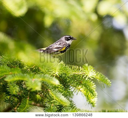 Yellow-rumped Warblers are impressive in the sheer numbers with which they flood the continent each fall. Trees fill with the streaky brown-and-yellow birds and their distinctive, sharp chips.