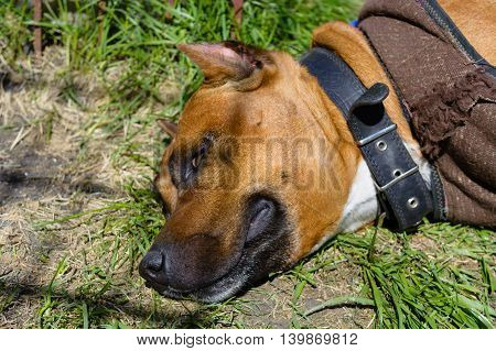 portrait of a beautiful female purebred American Staffordshire Terrier sleeping on a lawn in a garden