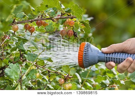 hand watering gooseberry bush in the garden with sprinkler