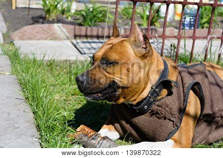 portrait of a beautiful female purebred American Staffordshire Terrier gnawing a wooden stick