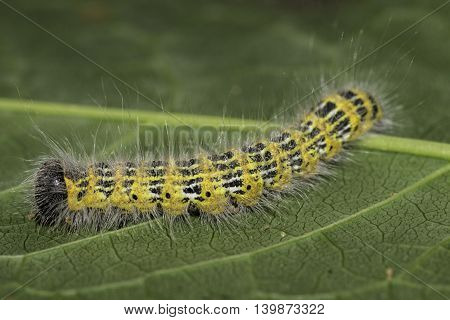 Buff-tip Caterpillar  -  Phalera bucephala  (Linnaeus, 1758)