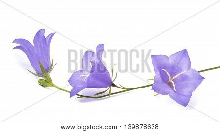 Bellflowers isolated on white background. Campanula rotundifolia