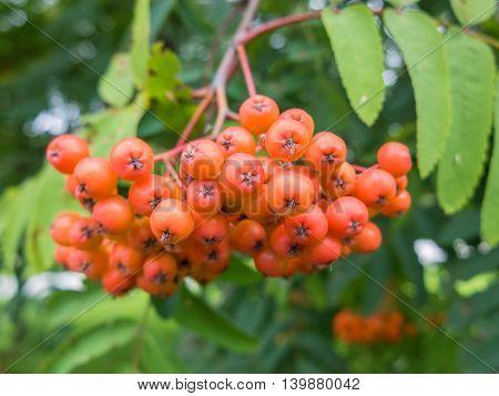 Bunch berries mountain ash macro. Rowan beautiful nature close. Orange berries chokeberry, is rich in vitamins. Healthy natural food.