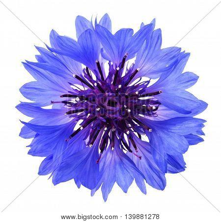 Blue Cornflower Head