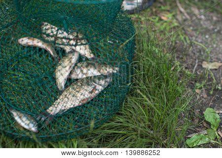 Caughted crucian carp