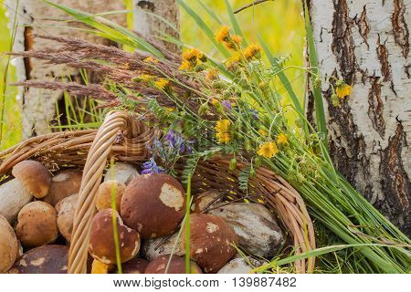 Wicker basket with Porcini mushrooms and other mushrooms and forest flowers near the trunks of white birches, nature forest background