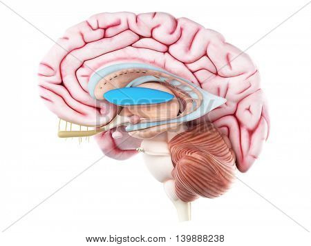 3d rendered medically accurate illustration of the lateral globus pallidus
