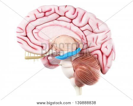3d rendered medically accurate illustration of the hippocampus