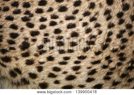 cheetah fur.