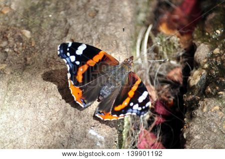 Colourful Vanessa Atalanta butterfly on the ground close up