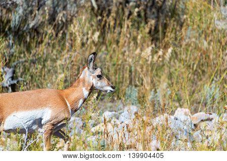 Pronghorn Antelope Profile