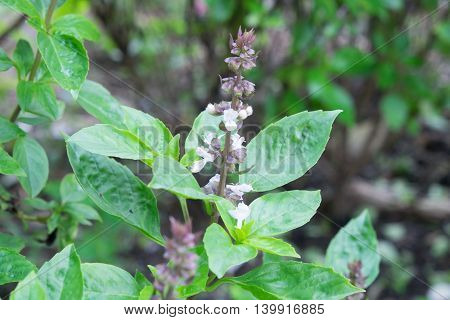 basil leaves and their flower at vegetable garden