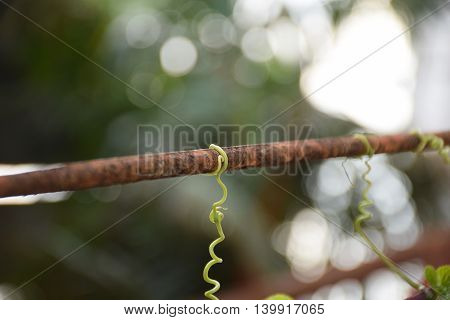 Closeup vine on steel. Nature and man made.